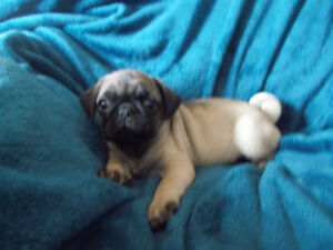 Pug pure bred one left