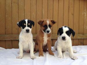 Heeler x Puppies!