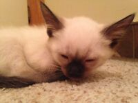 3 Chocolate Point Siamese Kittens For Sale