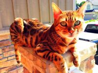 Bengal Purebred-New Home Required