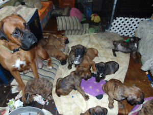 BOXER PUPPIES HOME RAISED WITH LOVE CKC REGISTERED
