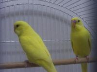 Deux perruches avec cage ou sans cage