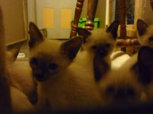 kittens siamese