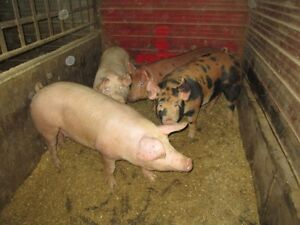 Bred Gilts