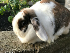 Pretty Holland Lop does