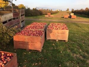Ground apples for sale. $80 a bin. Farm fresh! Peterborough Peterborough Area image 2
