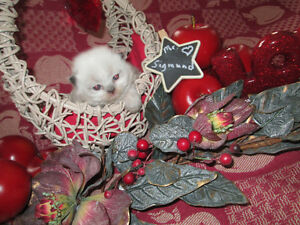 Adorable Purebred Himalayan kittens. One sweet little boy left.