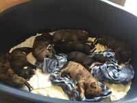 Staffy X presa Canerio pups