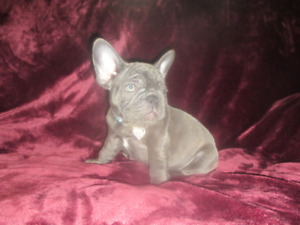 French Bulldog Adopt Dogs Puppies Locally In Ontario Kijiji