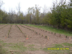 Trees for sale Kitchener / Waterloo Kitchener Area image 3