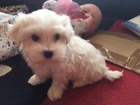 Maltese puppies 9 weeks old