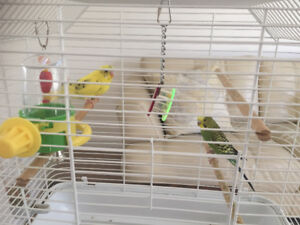 two birds budgies and accessories for sale
