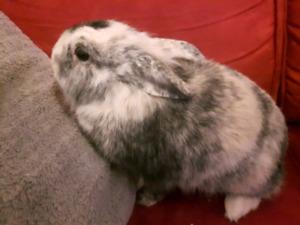 lapine a vendre