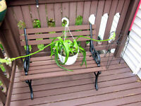 Hanging Basket Sea Onion/ Pregnant Onion