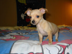 BLUE - TAN -  CHIHUAHUA Puppies READY TO GO NOW Health Exam