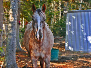 Appaloosa Mare **Very negotiable to PERFECT home!