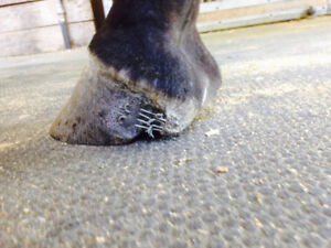 Farrier service wanted.