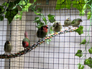 Red Faced Parrot Finch Babies