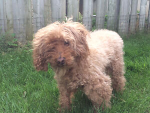 Small Miniature Poodle Missing
