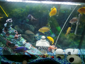 Assorted cichlids