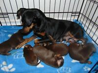 Chocolate Miniature Pinscher 1 Very Small boy Available