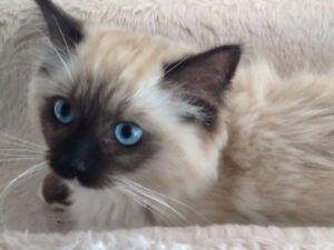 TICA Registered Ragdoll Kittens - on sale!