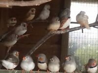 10x Zebra finches this years birds £30 the lot