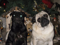 Two pugs for sale