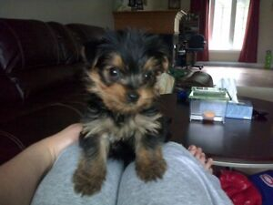 Pure breed yorkie  puppies