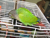 Adult Green Cheeked Conures for Adoption