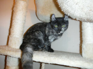 American Curl (jeune chatonne 7 mois)