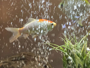 Gold fish to a good home
