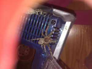 Adult female spider for sale