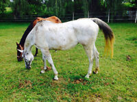 Bombproof 11 year old reg qh mare