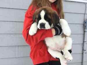 Purebred Registered  St. Bernard Pups Regina Regina Area image 1