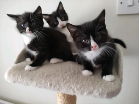 Kittens X 3 boys ready for rehoming on 25th