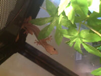 Golden Gekko looking for a new home! (Free)