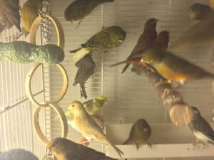 plusieurs males canaries 40 dollars chaque