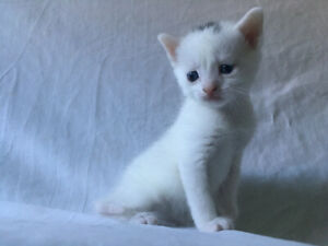 white female cat for sale kittens are all ADOPTED