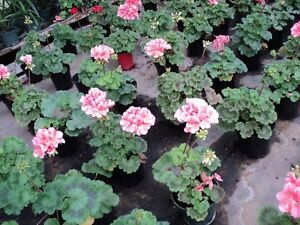 Tropical Plants and Geraniums @ clearance prices