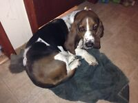 Basset Hound To Give Away