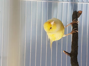 Canary (& cage if needed)