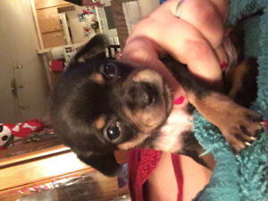Last female chihuahua mix puppy