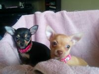 Ay! Chihuahua, these puppies are cute!