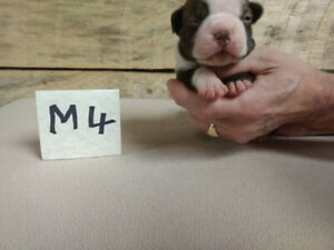 Breeders Adopt Dogs Puppies Locally In Moncton Kijiji Classifieds