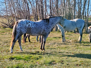 Registered Appaloosa Mare - WILLOW