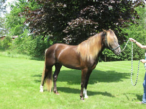 Rocky Mountain Horse For Stud Service, and  Horses For Sale!!!! Kingston Kingston Area image 4