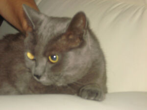 Beautiful Russian Blue Cat