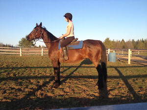 18 year old throughbred mare