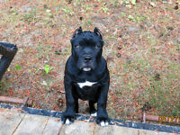 Registered Cane Corso Puppes